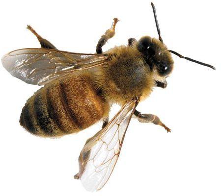 Buckfast Bee Friendly Type Buckfast Bees Bee Bee Keeping