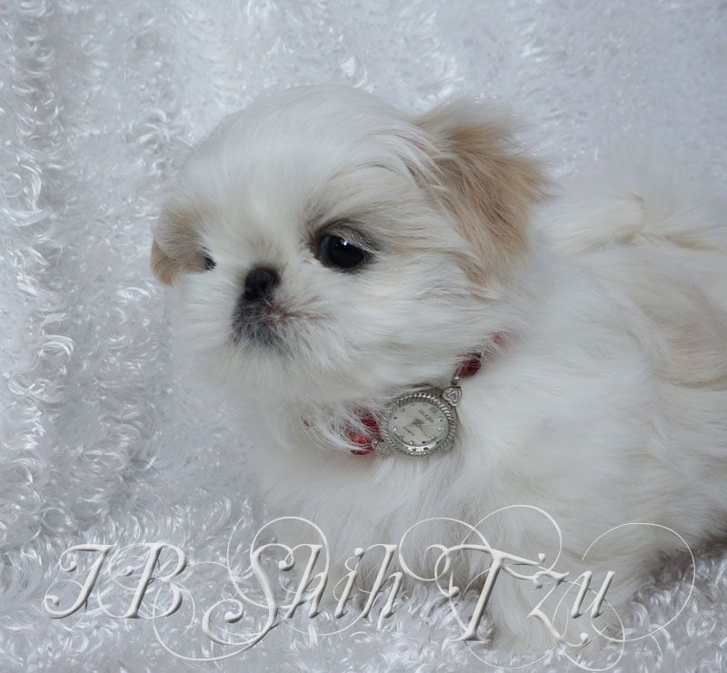 Our White Shih Tzu Are Top Gorgeous Past Baby Boy Shih Tzu