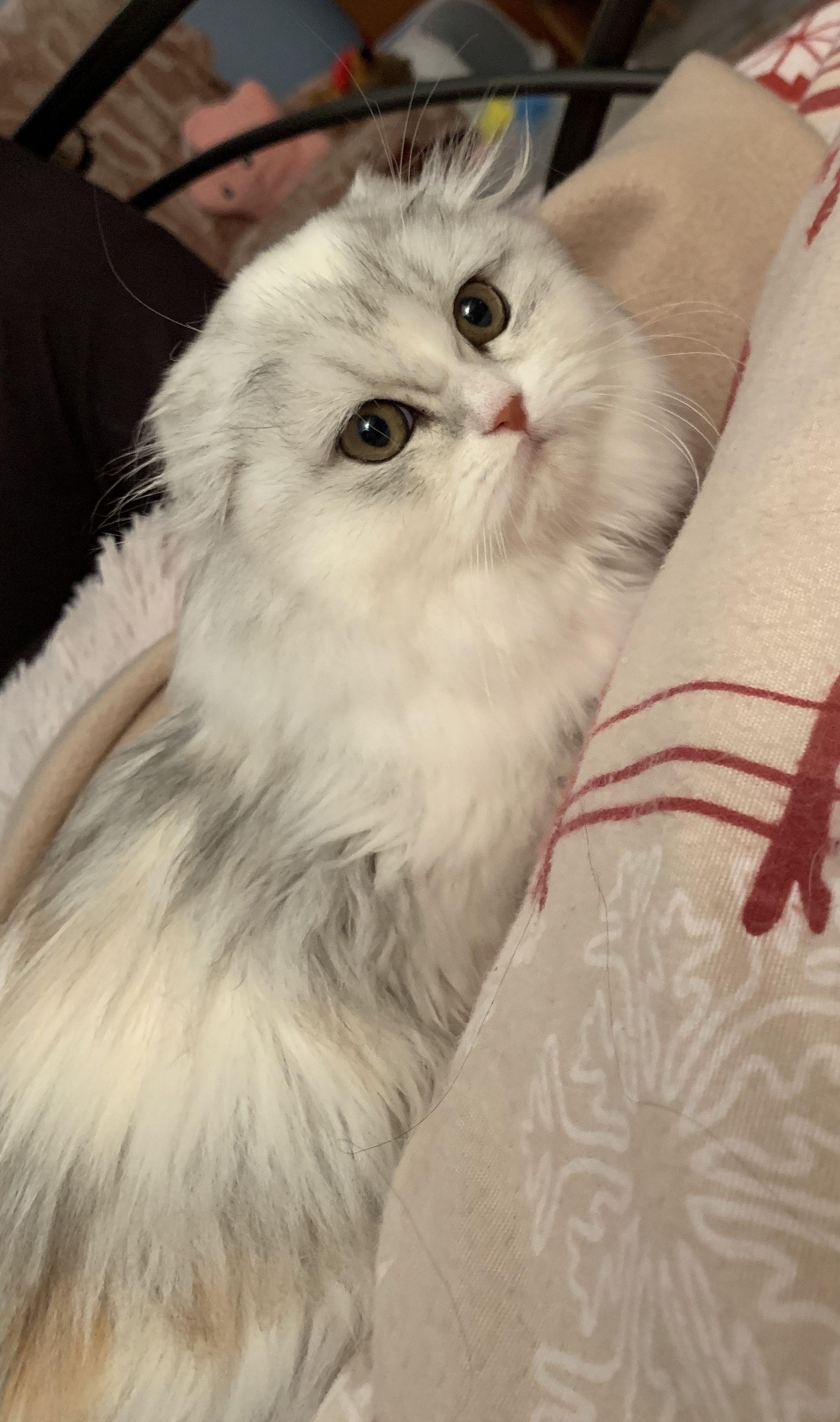 Scottish Highland Fold Girl No Name Yet In Love Cat Allergies Animal Lover Cat Scottish Fold