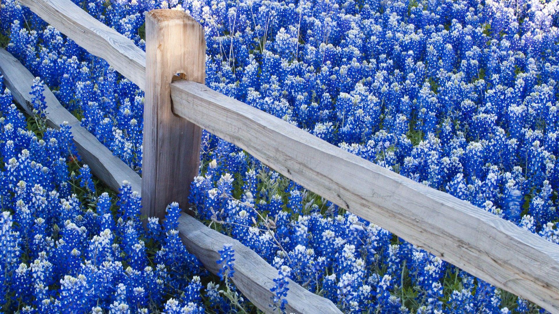 Blue Flower HD Wallpapers & Most Beautiful Flowers