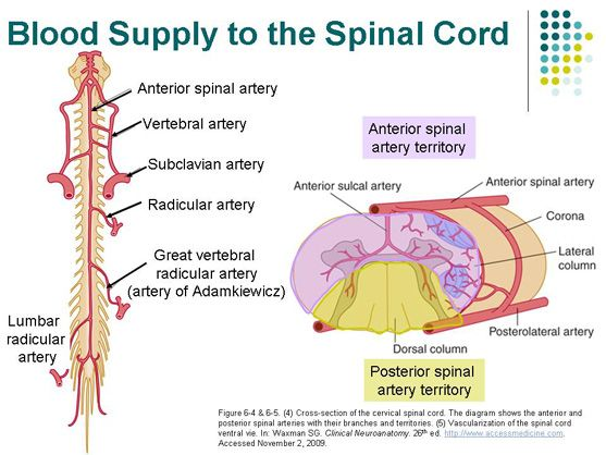 AccessPhysiotherapy - Spinal Cord Blood Supply | Physical Therapy ...