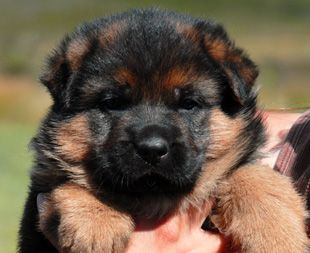 Animals Wallpapers Dog Information German Shepard Puppies Dogs