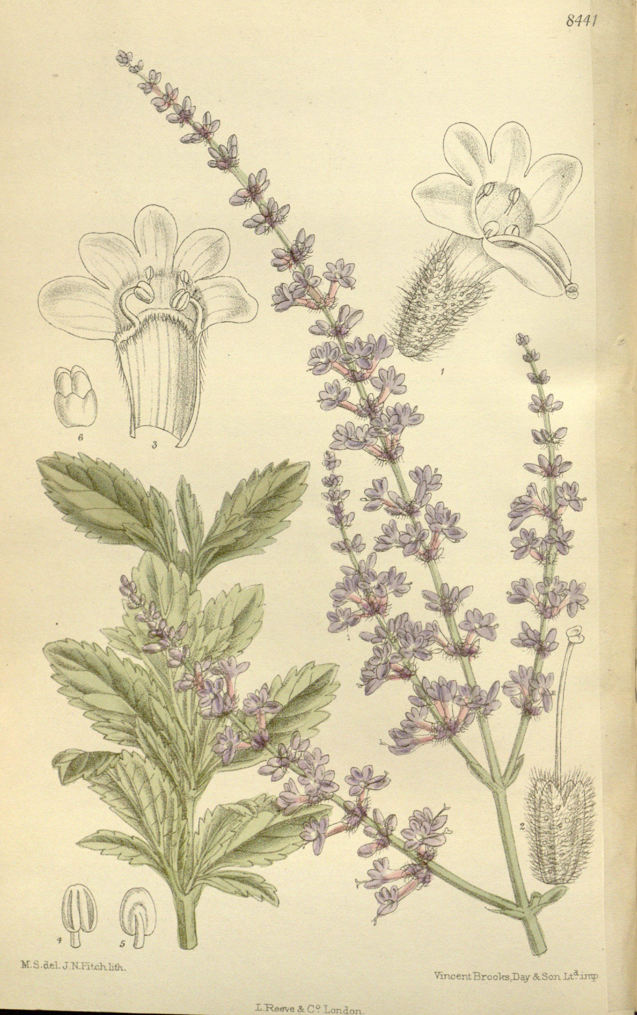 Rus adaçayı - Perovskia atriplicifolia - Russian sage | Flower ...
