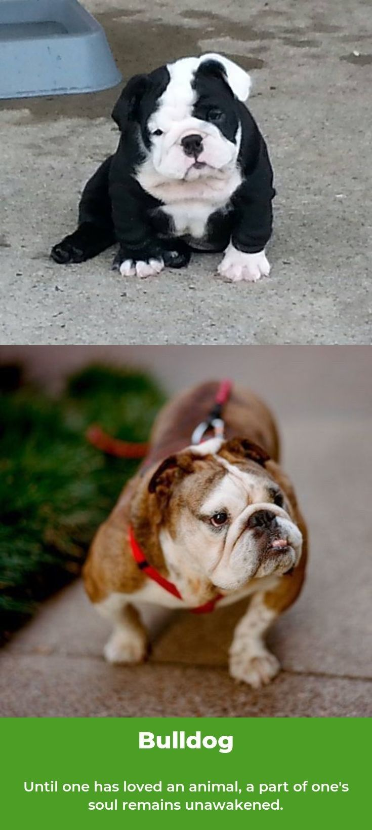 Bulldog bulldogstyle bulldogs (With images) Bulldog