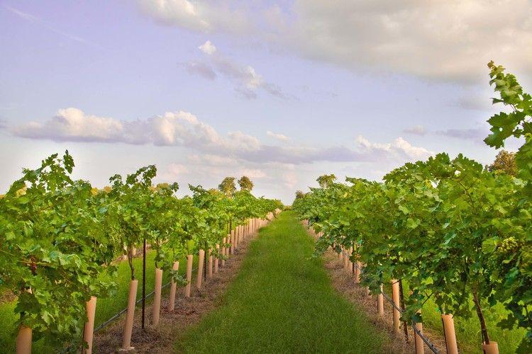 Kiepersol Winery Tyler, TX Texas wineries, Vineyard