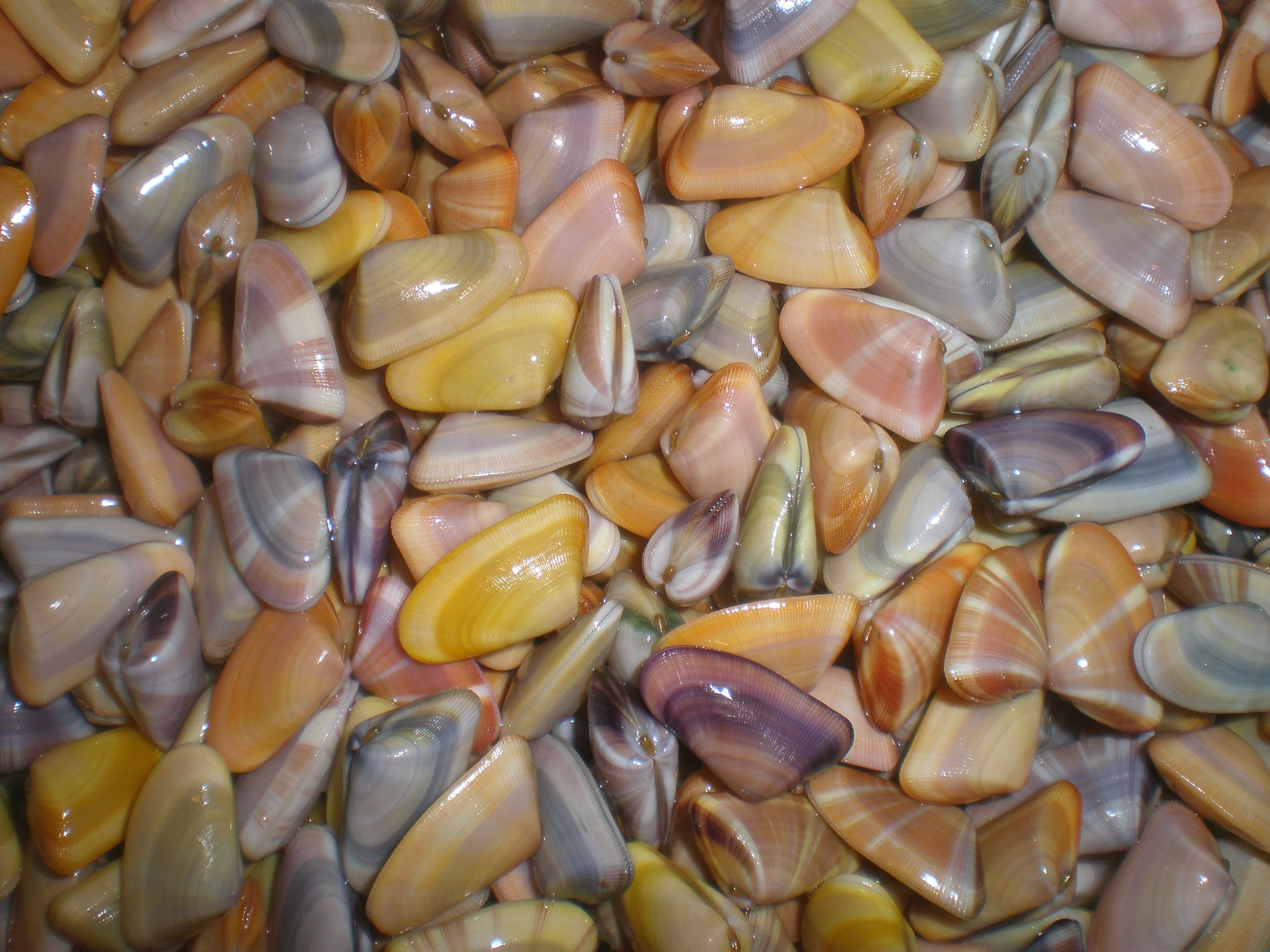Coquina Shells Some Of My Favorites Love To Watch Them Dig Back