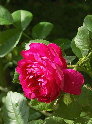 Red Blush====   'Red Blush'  Sievers, 1988