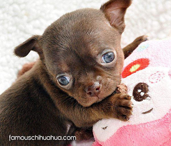Meet Bella Formerly Cupcake A Super Cute Applehead Chihuahua