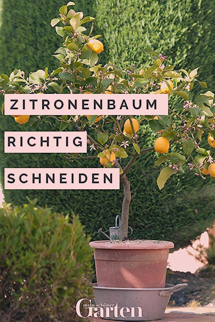 Photo of Kübelpflanze Zitronenbaum richtig schneiden