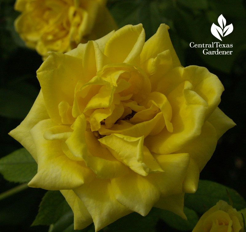 Central Texas Gardener Blog Yellow Roses Rose Plants