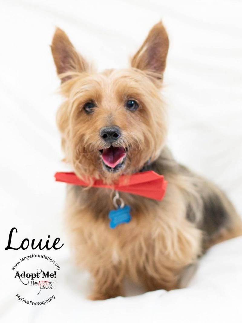Meet Louie An Adoptable Yorkshire Terrier Yorkie Looking For A Forever Home If You Re Looking For A New Pet To Adopt Yorkshire Terrier Yorkie Dogs