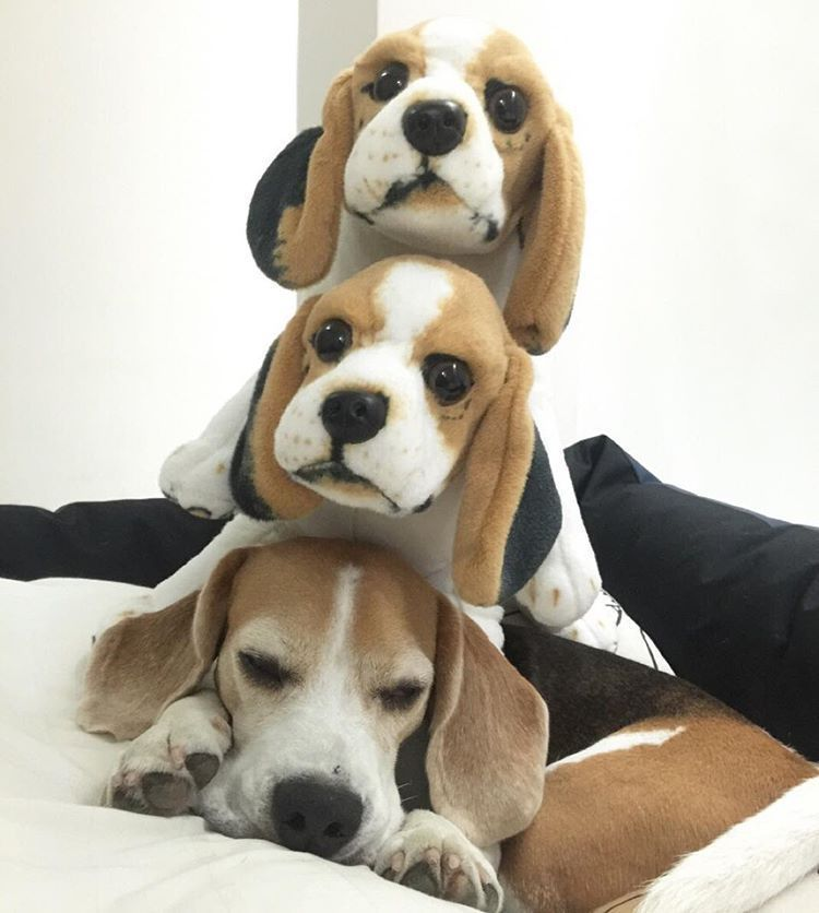 Beagles Beagle Puppy Cute Beagles Beagle