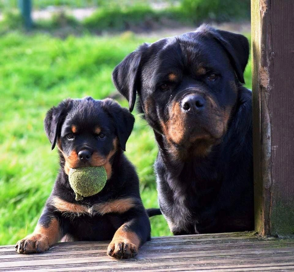 All The Things We All Like About The Playful Rottweiler Pups Rottweilerofinstagram Rottweilerbaby Rottweilertra Rottweiler Dog Rottweiler Puppies Rottweiler