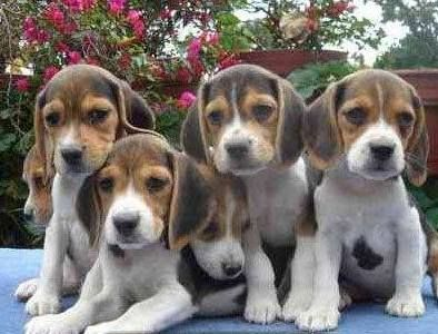 Bunch Of Beagles I Used To Have A Lot Of Puppies All The Time