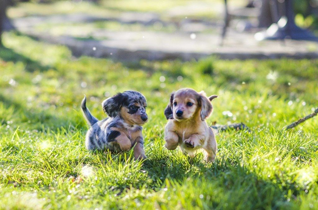 13 Reasons Why You Need A Hairy Wiener In Your Life Dachshund