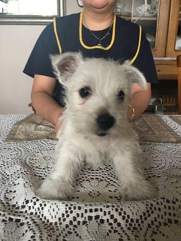 Litter Of 4 West Highland White Terrier Puppies For Sale In Fort Wayne In Adn 29538 On Puppyfinder West Highland White Terrier White Terrier Terrier Puppies