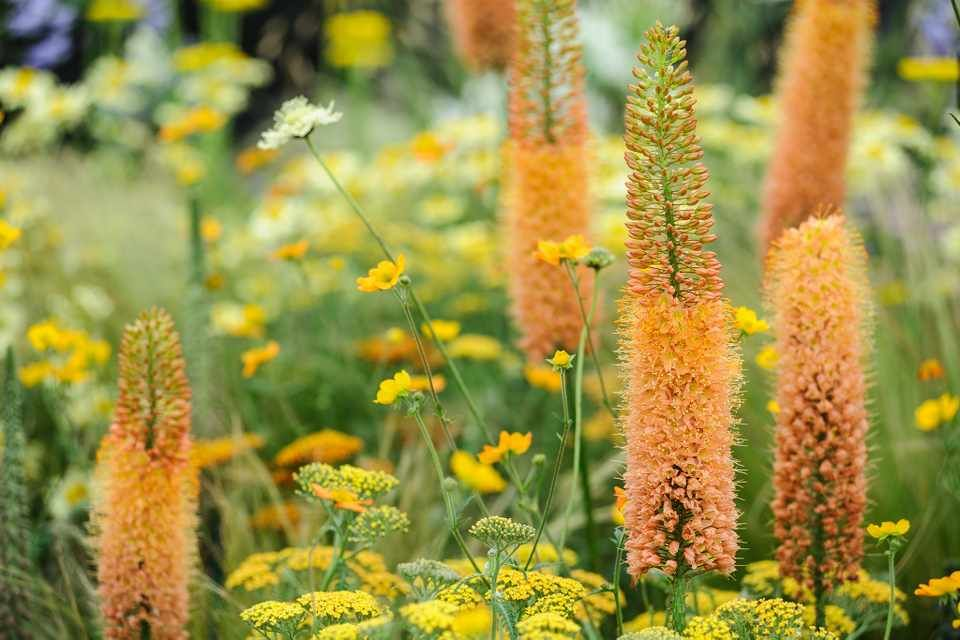 How to grow foxtail lilies -   13 plants Flowers articles ideas