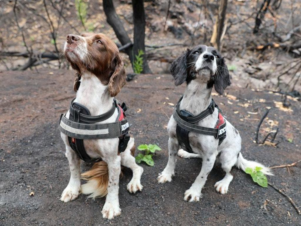 Skilled Spaniels Have Located 7 Surviving Koalas Right After
