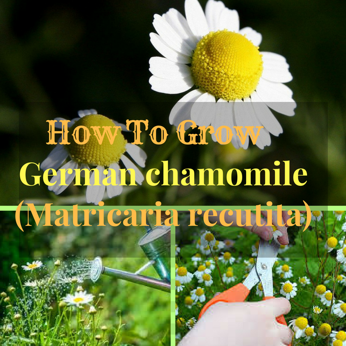 You Can Plant Chamomile In The Middle Of May Or June If You Live In United States And Europe But You Can Sta Chamomile Plant Chamomile Growing Plant Nutrients