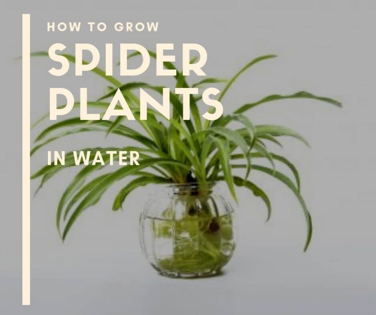 How to Grow Spider Plants in Water -   16 plants Growing in water ideas