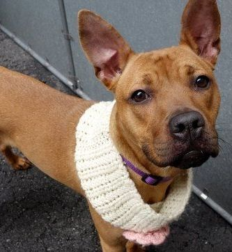 SAFE 3-17-2016 --- Manhattan Center MOLLY – A1067476  **SAFER: AVERAGE HOME**  FEMALE, RED / BLACK, AM PIT BULL TER MIX, 1 yr STRAY – STRAY WAIT, NO HOLD Reason STRAY Intake condition UNSPECIFIE Intake Date 03/12/2016 http://nycdogs.urgentpodr.org/molly-a1067476/