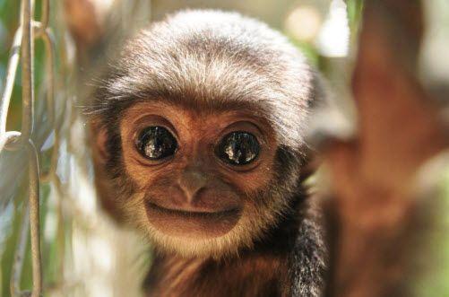 The Wildlife of Thailand : Agile Gibbon (Hylobates agilis)