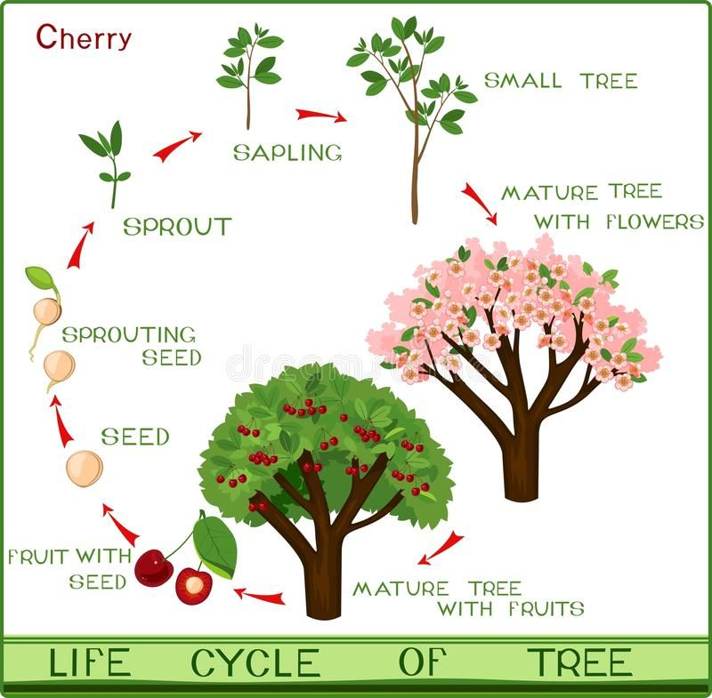 Illustration About Life Cycle Of Cherry Tree With Captions Plant Growing From Seed To Cherry Tree Illustration Of Life Flow Growing Seeds Cherry Tree Plants