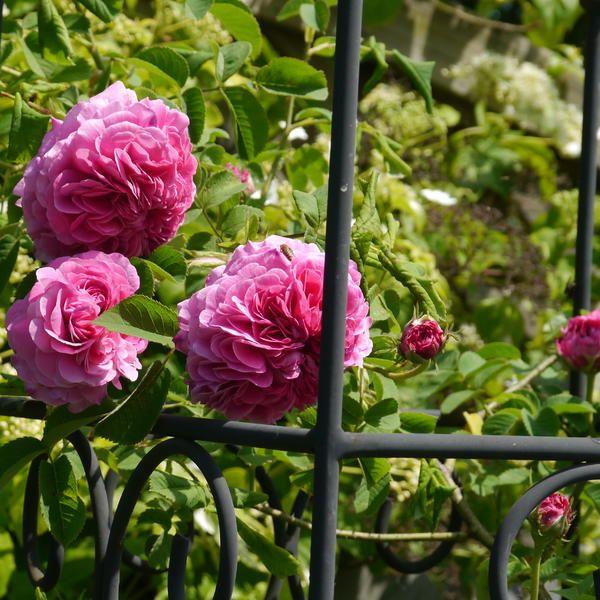 Gardens · Rose