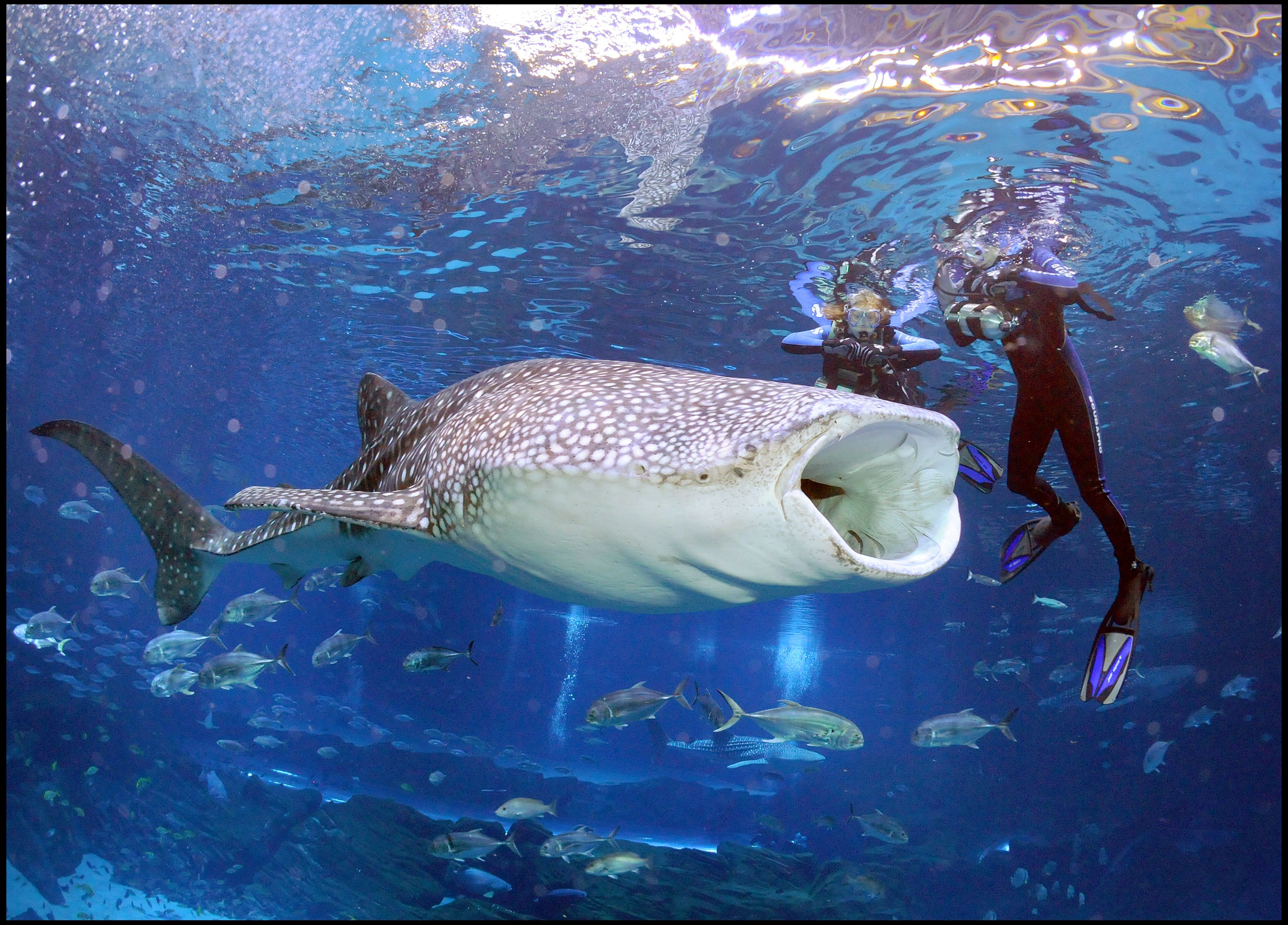 Swim Or Dive With The World S Largest Fish Whale Sharks