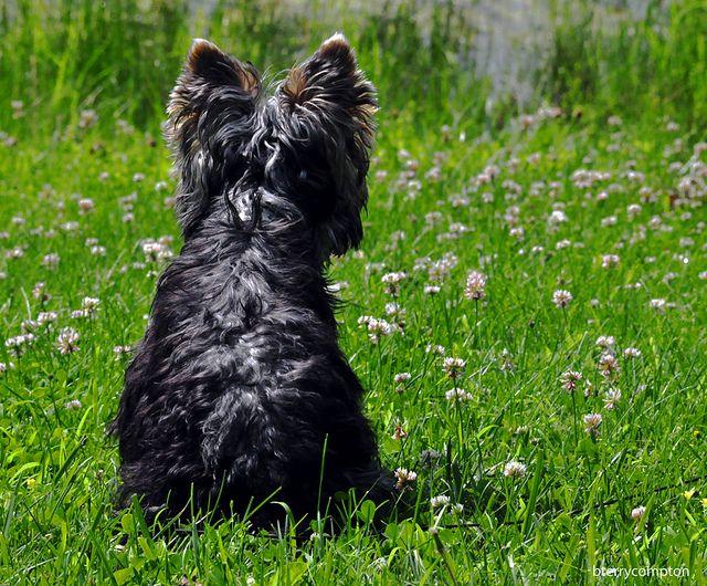 DSC_8675_1_72 - Curly the Yorky   Flickr: Intercambio de fotos