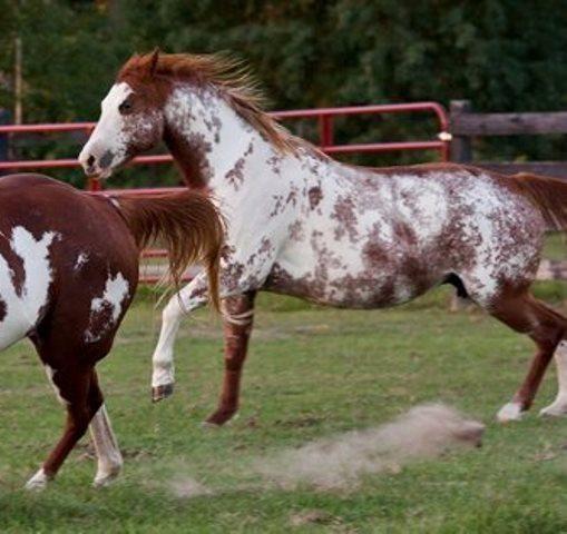 Sabino Horse   Sabino Overo Horse Overo Horses Sale Texas   Horses