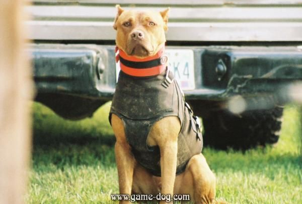 Apbt Suited Up To Go Hoghunting Shared By James29 Physique Dogs