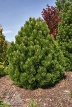 Pinus leucodermis (heldreichii) ' Mint Truffle ' Dwarf Bosnian Pine