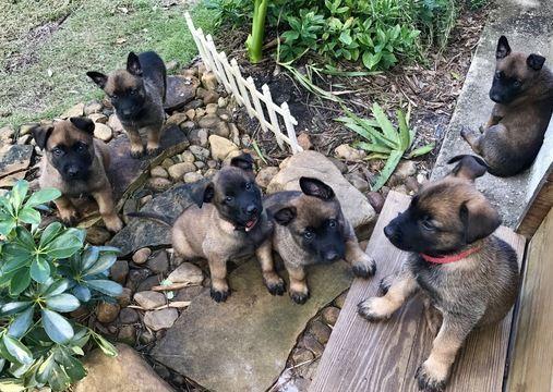 Litter Of 8 Belgian Malinois Puppies For Sale In Stuart Fl Adn 53904 On Puppyfinder Com Gender M Puppies For Sale Belgian Malinois Malinois Puppies For Sale