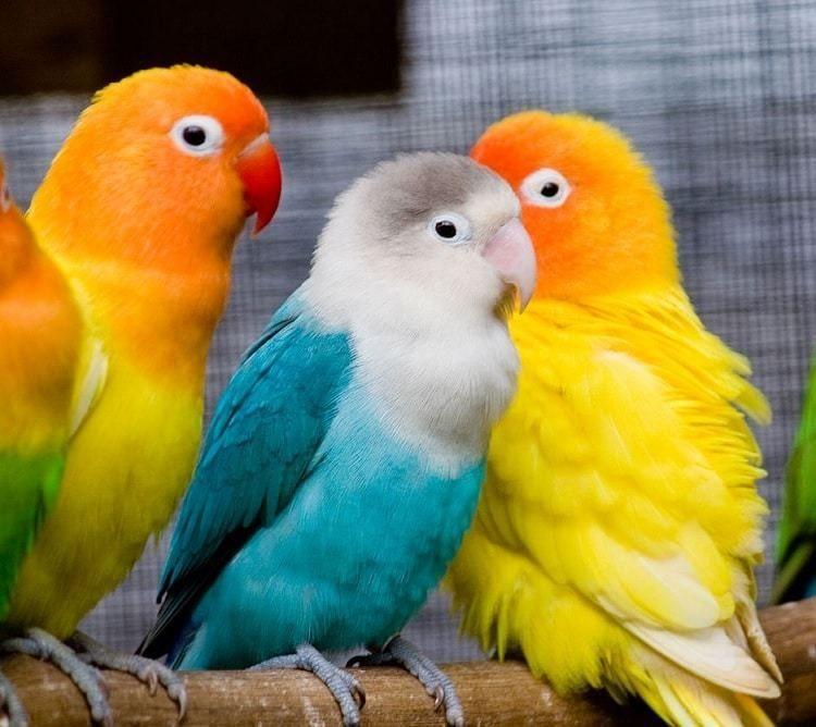 Tips Memilih Lovebird Anakan Balibu Dan Cara Melatihnya Con Imagenes Pericos Aves Aves Aves Pajaros