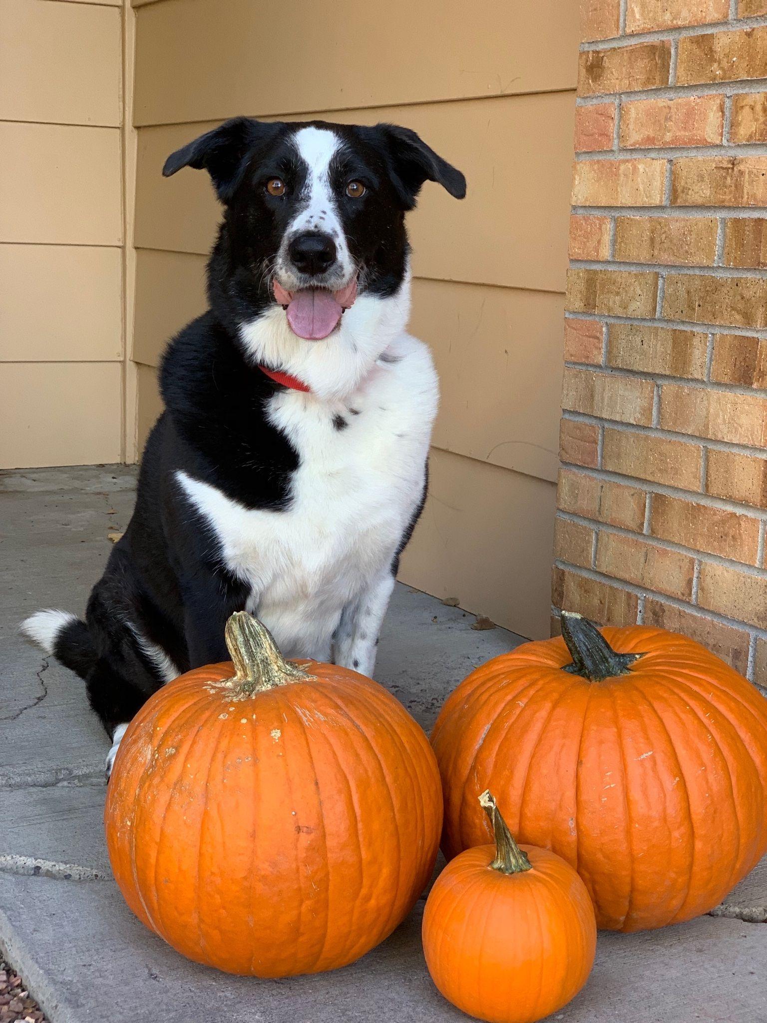 Dog and Pumpkins Border collie dog, Pumpkin, Collie dog