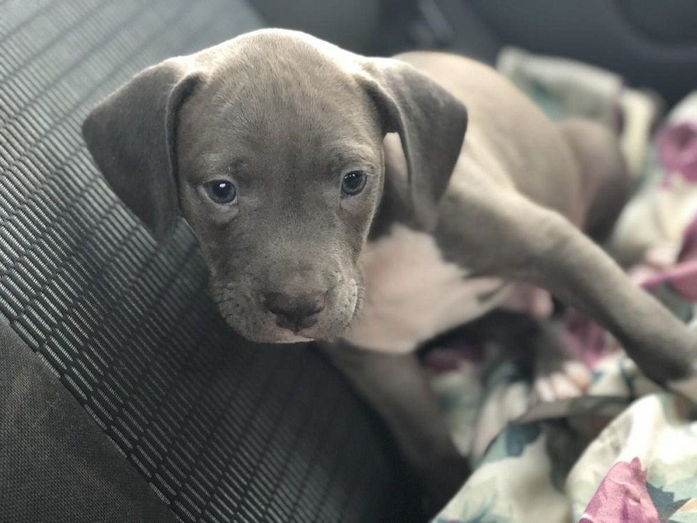 Blue Nose Pitbull Puppies For Free Pitbullpuppiesforfree Pitbull Puppies Blue Nose Pitbull Puppies Free Puppies