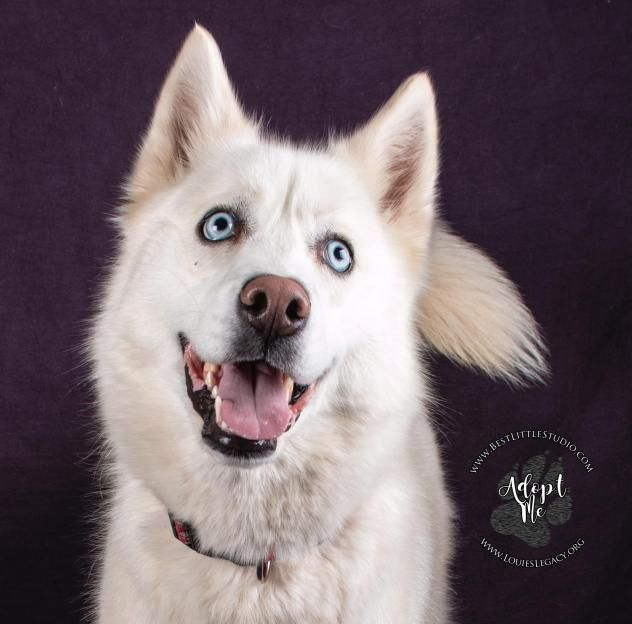 Adopt Jade On Adopt A Dog Siberian Huskies Pinterest Jade