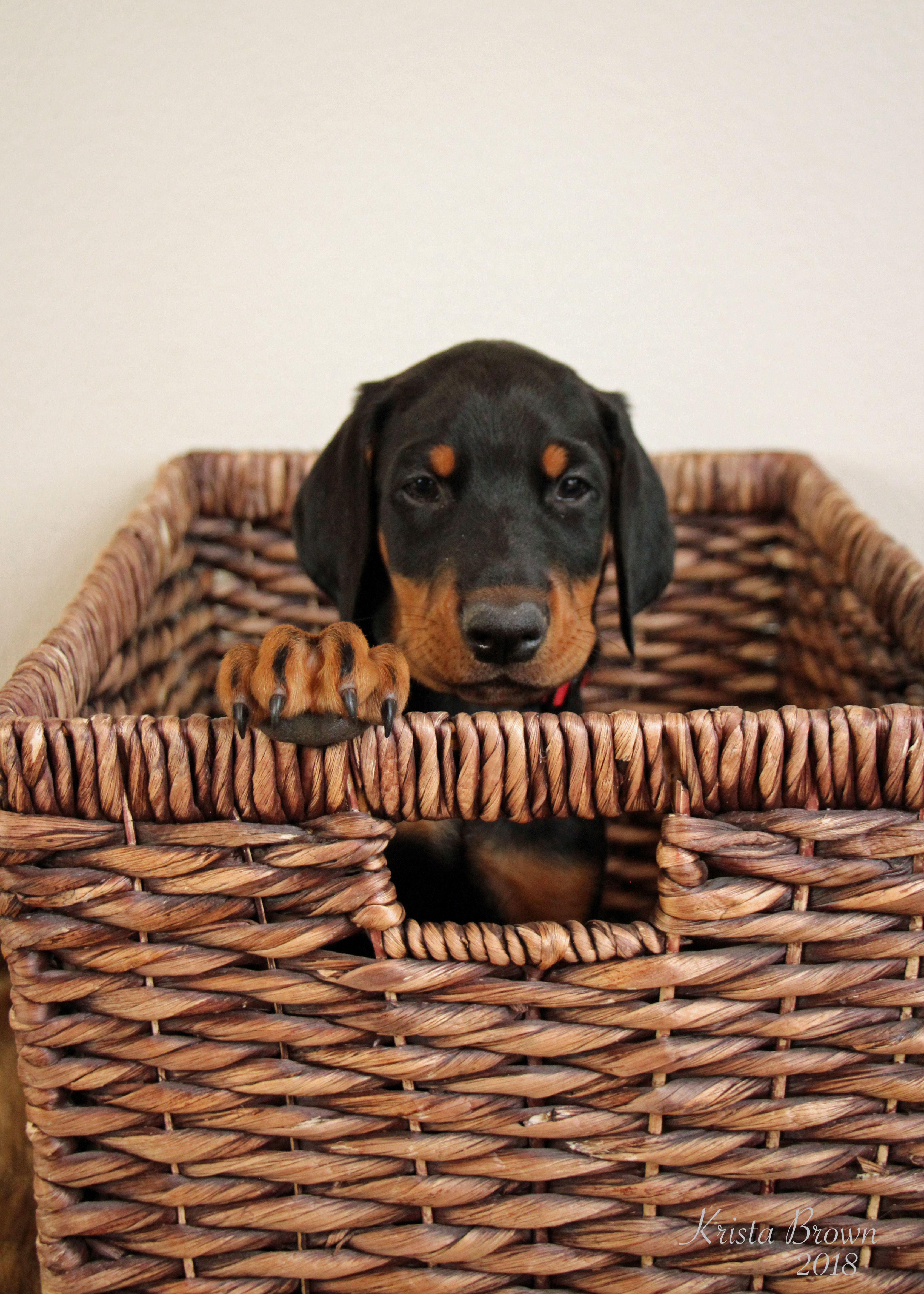 Doberman Pinscher Puppy 7 Weeks Old Doberman Pinscher Doberman