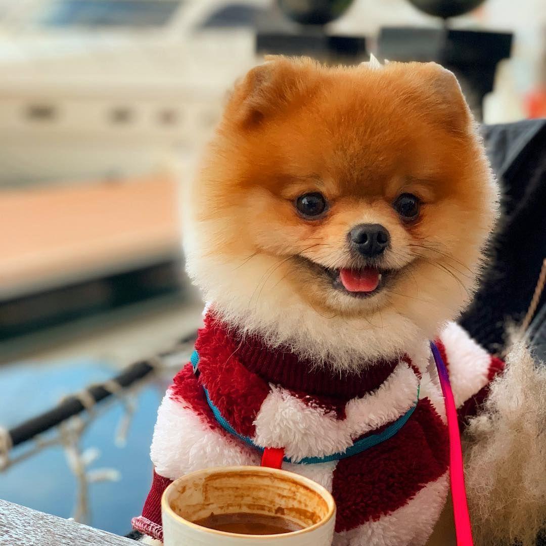 Where To Buy Pomeranian Pomeranian Puppy Dog Friends Cute Dogs