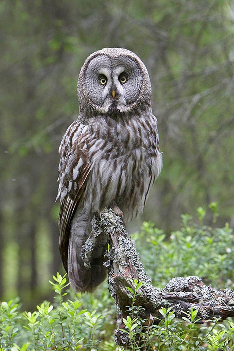 Image Result For Great Grey Owl Totem Pinterest Owl