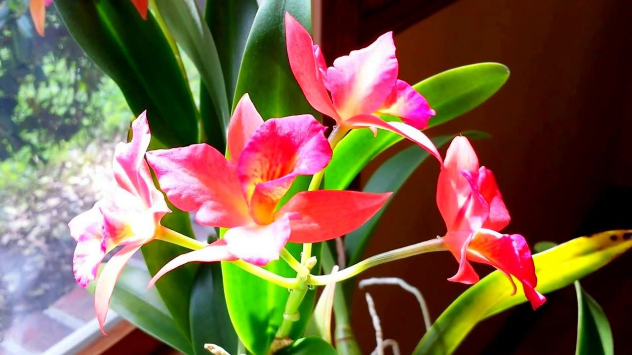 NEW Hybrid Cattleya Orchid!! VALERIE/'S CHARM /'MAGNIFIQUE/' RLC Only USA Source