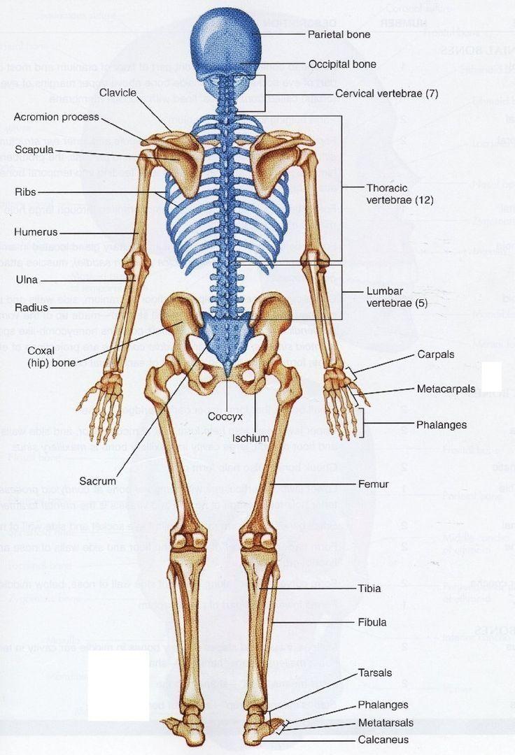Human Bone Structure Back Human Back Bones Anatomy Human Anatomy ...