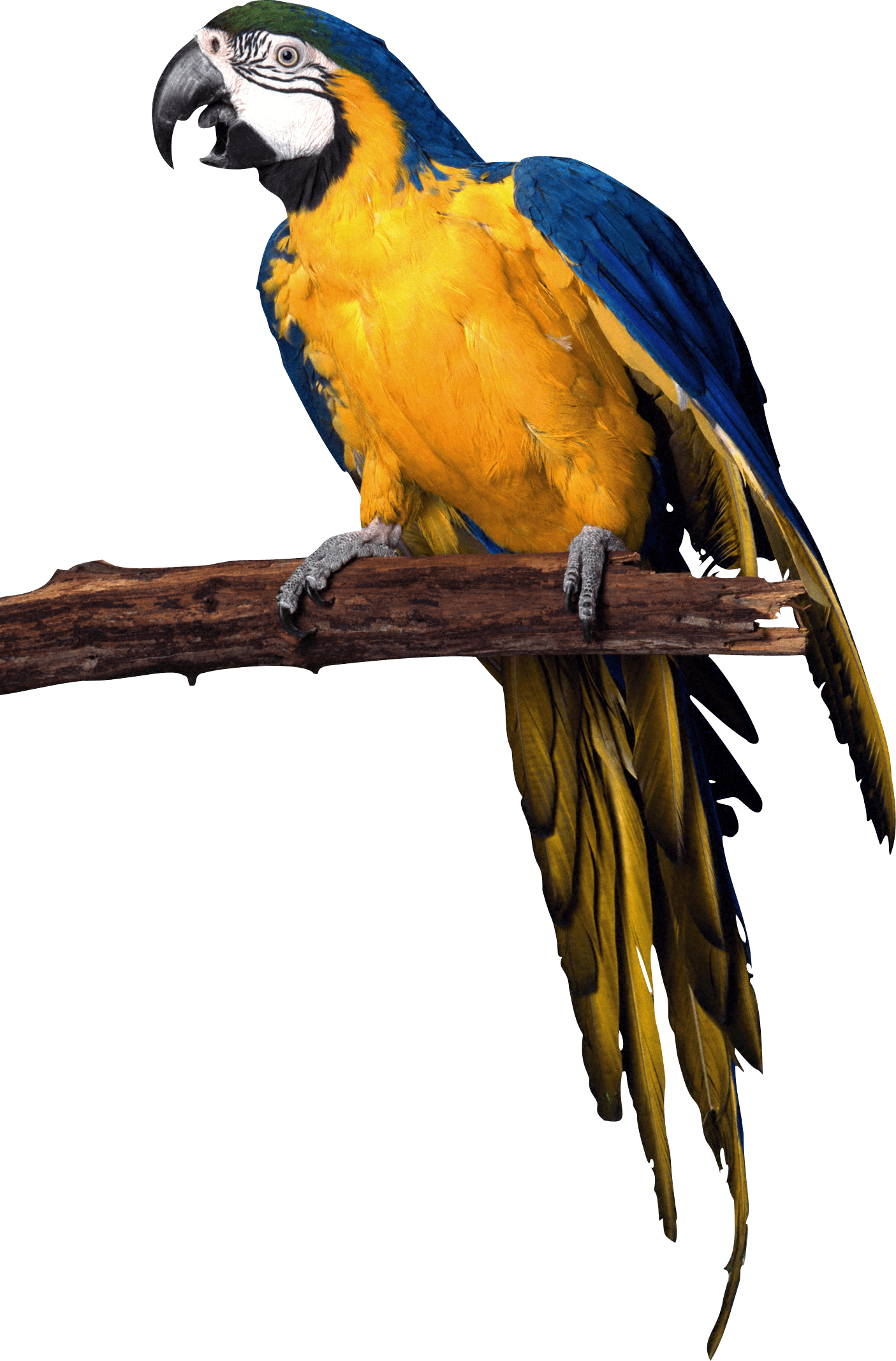 Yellow Blue Pirate Parrot Png Image Parrot Image Parrot Animals Images