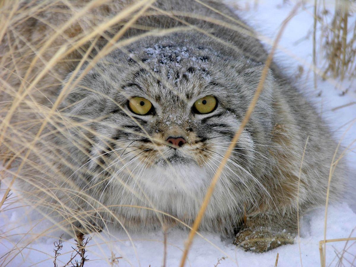 освежить фото кота манула в алтайском крае торгуете цветами, достоинству