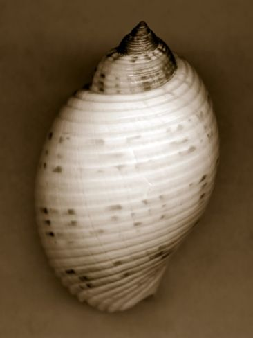 Bonnet Shell Photographic Print by John Kuss at Art.com
