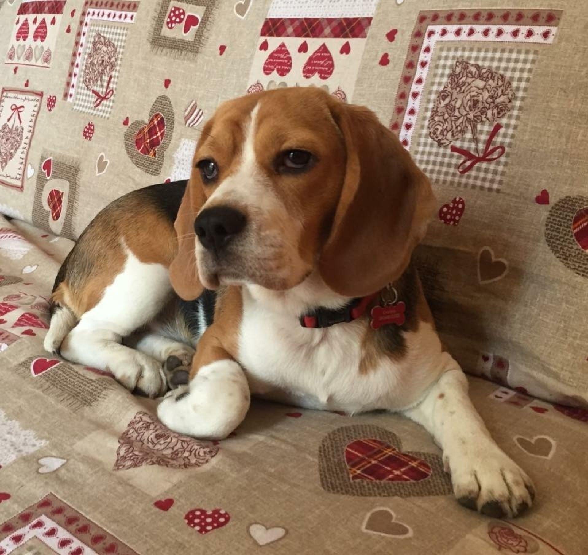 Beagle Guapa Di Pcr Beagle Animals Cute Animals