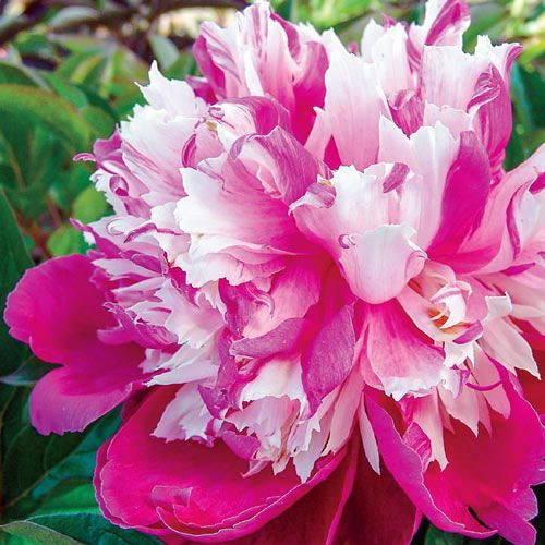 Daydream Peony Bulb Flowers Peonies Pink Perennials