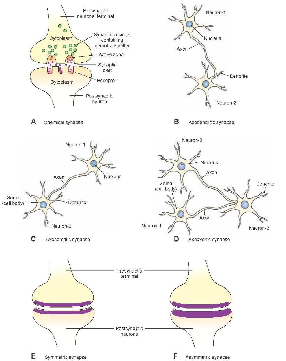 Morphology of a chemical synapse a the presynaptic terminal and a the presynaptic terminal and postsynaptic neuron are robcynllc Choice Image