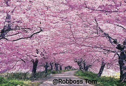 Tom Robboss On Twitter Pink Trees Beautiful Nature Yoyogi Park